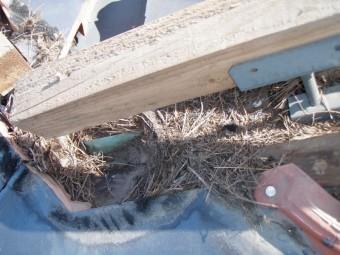 棟瓦にスズメの巣