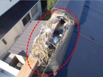 屋根の中にスズメの巣